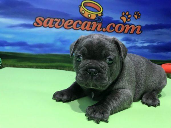 Bulldog Francés Macho BLUE